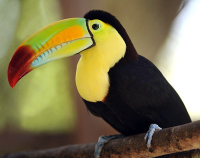 Keel Billed Toucan - the National Bird of Belize